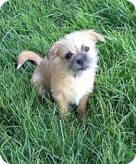 Shih Tzu/Brussels Griffon Mix Puppy for adoption in Salt Lake City, Utah - PAIGE