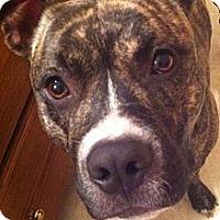 Adopt A Pet :: Little Bear - Charlotte, NC
