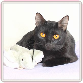 Bombay Cat for adoption in Glendale, Arizona - Cairo