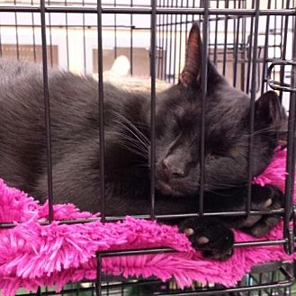 Domestic Shorthair Cat for adoption in St. Cloud, Florida - Ninja