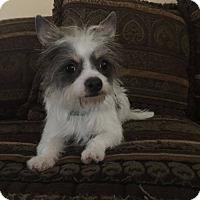 Adopt A Pet :: CHICKIE - Boca Raton, FL