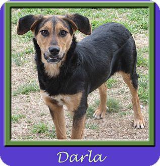 Shepherd (Unknown Type)/Hound (Unknown Type) Mix Dog for adoption in Hillsboro, Texas - Darla