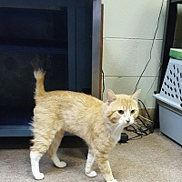 Adopt A Pet :: Bobtail Red - Tanner, AL
