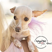 Italian Greyhound/Chihuahua Mix Dog for adoption in Inland Empire, California - GAIL