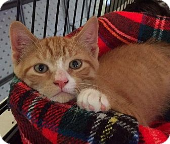 Domestic Shorthair Kitten for adoption in Spencer, New York - Bryce