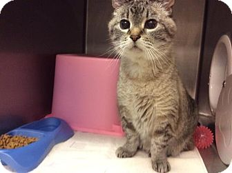 Siamese Cat for adoption in Janesville, Wisconsin - Quinn