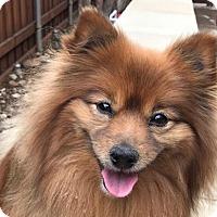Adopt A Pet :: Woofie - Dallas, TX