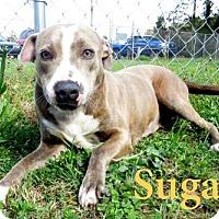 Adopt A Pet :: Sugar - Georgetown, SC