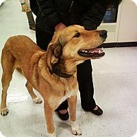 Adopt A Pet :: Boomer - Midlothian, VA