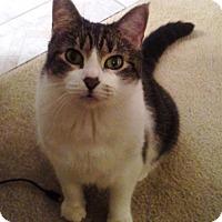 Adopt A Pet :: BANDIT-Declawed - DeLand, FL