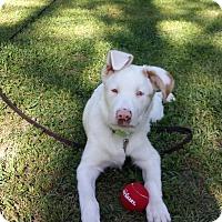 Adopt A Pet :: Augie:Playful! (GA) - Wilmington, MA