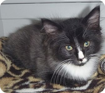 Domestic Longhair Cat for adoption in St. Petersburg, Florida - Fuzzby