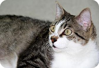Domestic Shorthair Cat for adoption in Bradenton, Florida - Lady