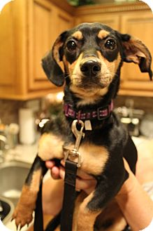 Miniature Pinscher Mix Puppy for adoption in Hamburg, Pennsylvania - Delilah