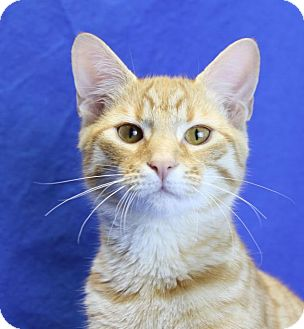 Domestic Shorthair Cat for adoption in Winston-Salem, North Carolina - Bryndon
