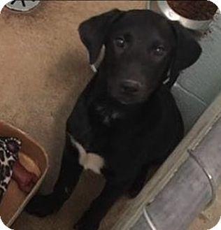Labrador Retriever Mix Puppy for adoption in Pompton Lakes, New Jersey - Joy