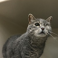 Domestic Shorthair Cat for adoption in Saylorsburg, Pennsylvania - Smokey