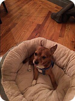 Chihuahua Mix Dog for adoption in New York, New York - Chicharito