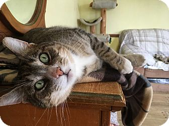 Domestic Shorthair Cat for adoption in Middletown, New York - Ziggy