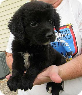 Labrador Retriever Mix Puppy for adoption in Richmond, Virginia - Leila