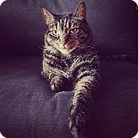Domestic Shorthair Cat for adoption in New York, New York - Huey