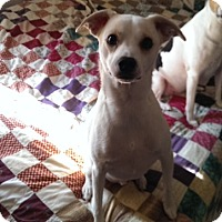 Adopt A Pet :: Dew in Princeton, Texas - Austin, TX