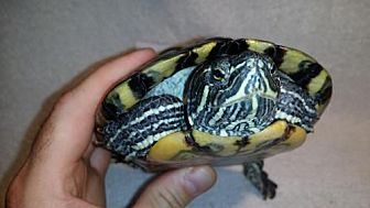 Turtle - Other for adoption in Pefferlaw, Ontario - Squee