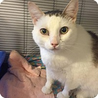 Domestic Shorthair Cat for adoption in Hanna City, Illinois - JoAnna