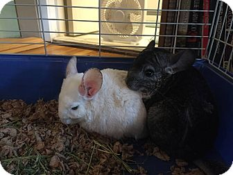 Chinchilla for adoption in Patchogue, New York - Caravaggio