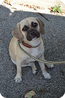 Pug/Beagle Mix Dog for adoption in Youngstown, Ohio - Zoe ~ Adoption Pending