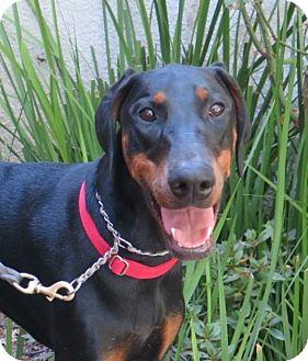 Doberman Pinscher Dog for adoption in Tracy, California - Shauna