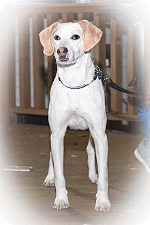 Foxhound/Beagle Mix Dog for adoption in Virginia Beach, Virginia - Hardee