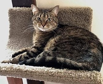 Domestic Shorthair Cat for adoption in Columbus, Ohio - Bailey
