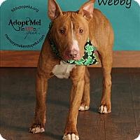 Adopt A Pet :: Webby - Topeka, KS