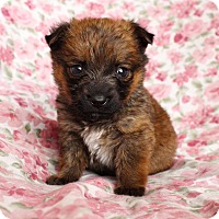 Adopt A Pet :: Little Ramona - santa monica, CA
