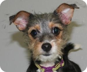 Yorkie, Yorkshire Terrier/Jack Russell Terrier Mix Puppy for adoption in Muskegon, Michigan - Rudy