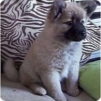Adopt A Pet :: Vesna - Plainfield, CT