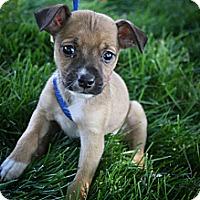 Adopt A Pet :: Bourbon - Broomfield, CO