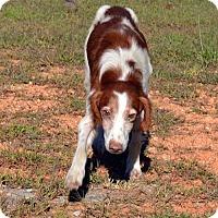 Adopt A Pet :: Harrison - Marietta, GA