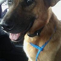 Adopt A Pet :: Chewie - Peyton, CO