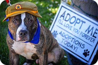 Pit Bull Terrier Dog for adoption in Redondo Beach, California - Magic Mike!