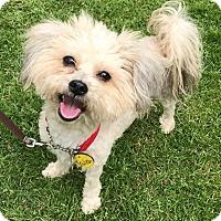 Maltese/Poodle (Miniature) Mix Dog for adoption in Los Angeles, California - ISLA