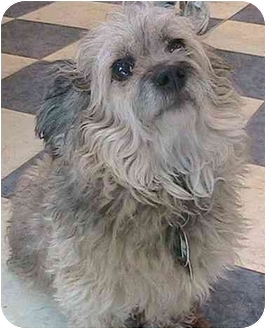 Yorkie, Yorkshire Terrier Mix Dog for adoption in Forest Hills, New York - Ruffles
