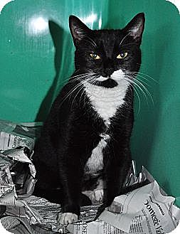 Domestic Shorthair Cat for adoption in West Hartford, Connecticut - Foxy