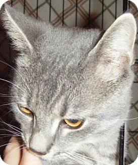 Domestic Shorthair Kitten for adoption in Kensington, Maryland - Sherlock