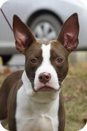 American Pit Bull Terrier Mix Dog for adoption in Gainesville, Florida - Rex