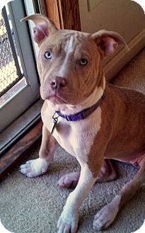 American Staffordshire Terrier/Terrier (Unknown Type, Medium) Mix Puppy for adoption in North Olmsted, Ohio - Betsy