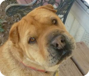 Shar Pei Dog for adoption in Las Cruces, New Mexico - Amy