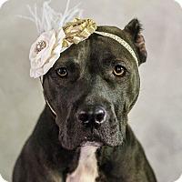 Adopt A Pet :: Mercy - Arlington, TX