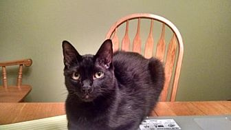 Domestic Shorthair Cat for adoption in Cypress, Texas - ONEEE